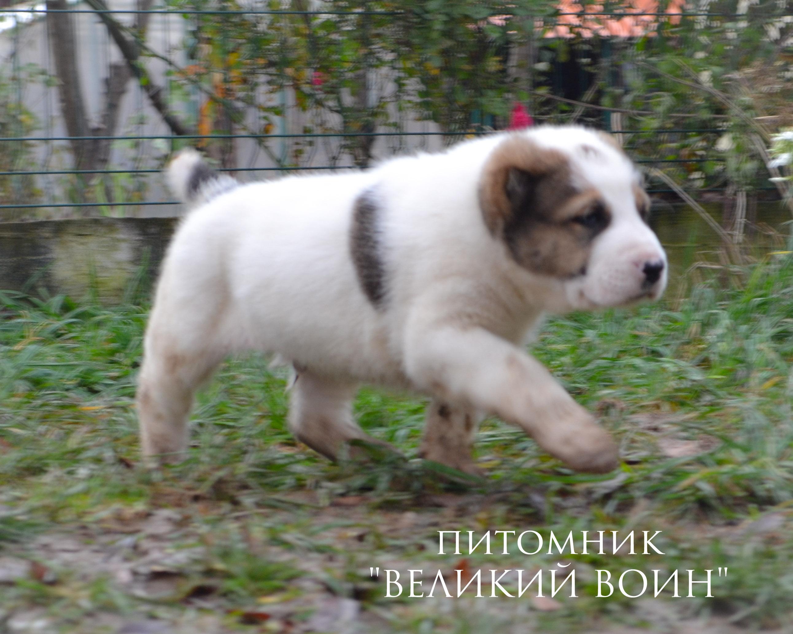 Щенки алабая из питомника в Москве и Московской области