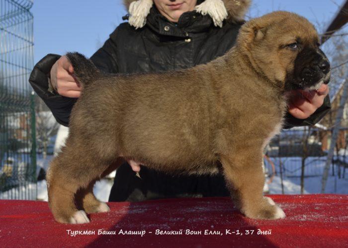 щенок среднеазиатской овчарки, алабая
