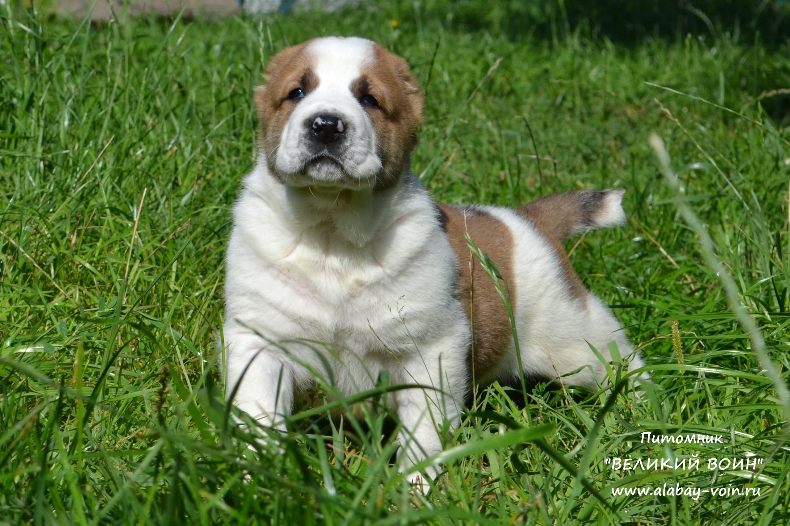 рыжий щенок алабая, Великий Воин Полкан