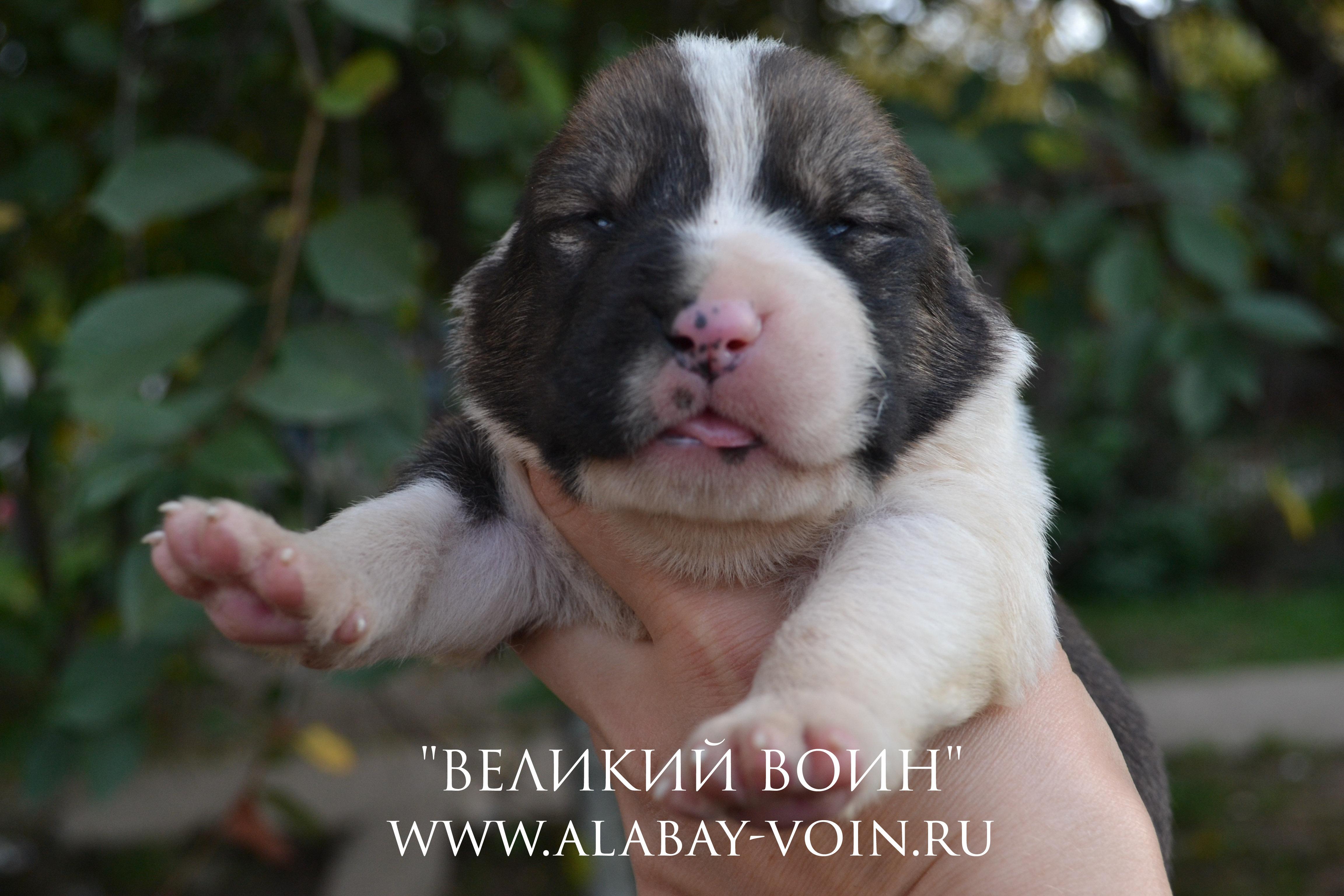 CСреднеазиатская овчарка, щенок 13 дней